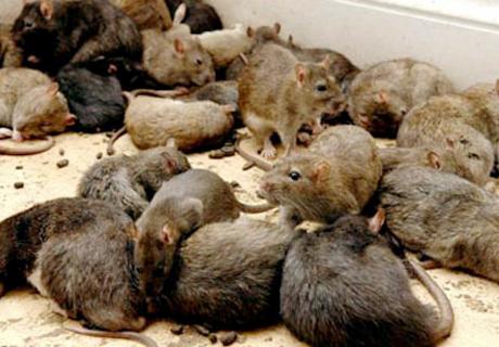 Златоуст заполонили крысы